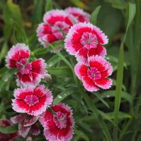 Bright Dianthus by Rjet33