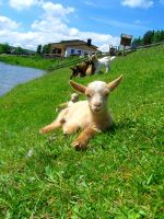 Goats II by Tienna