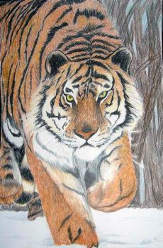 Tiger in Snow by Nadia354