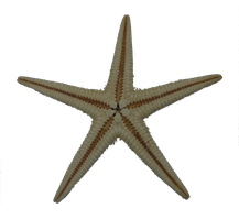 Sea star - Stock photo by Heidi-stock