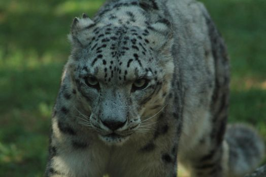 Snow Leopard Stock Photo 8 by lightningspamstock