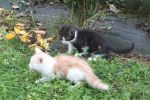 Red and White and Black and White kitten by CitronVertStock