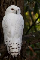 Snowy Owl by Jay-Co