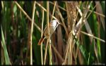 Bearded Tit by jimbomp44