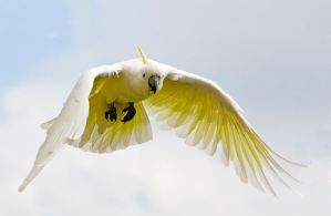 Sulphur Crested Cockatoo 88 by chezem