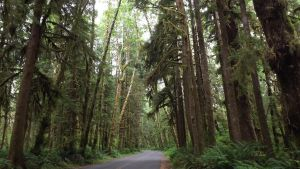Road Into The HoH RainForest by Speck2