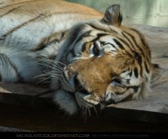 Bengal Tiger 5 by SalsolaStock
