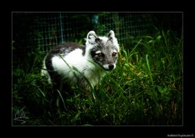 Arctic Fox Summer Coat by AmbientExposures