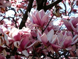Magnolias by dazzleflash