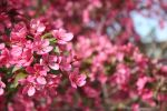 Cherry Blossoms III by GreenEyezz-stock