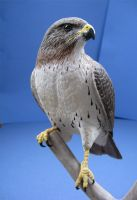 Red Tailed Hawk 2 by Bagheera3