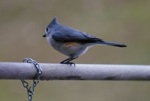 Tufted Titmouse 01 by Thy-Darkest-Hour