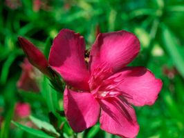 flower red by odina222
