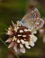 Common blue XIV by webcruiser