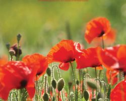 Poppies: Wallpaper by afphotography