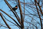 Red Wing Blackbird by mandersw89