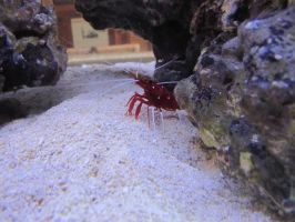Blood Red Fire Shrimp by AxelHonoo