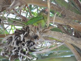 Wild blue crowned conure 2 by Sorath-Rising