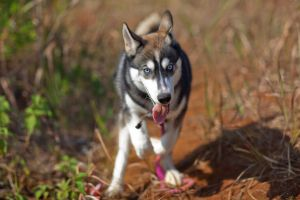 husky by russell910