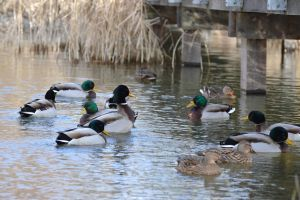 Band of ducks by A1Z2E3R