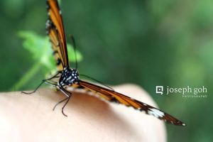 Butterfly On My Hand by josgoh