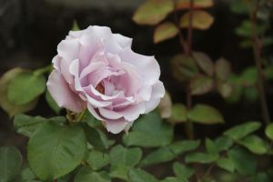 Rose 1 by Chocomix-Stock