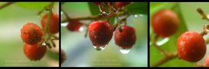 Rain in autumn, red berries by turkill