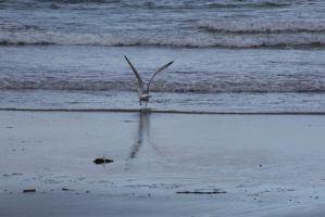 The Beach Reflection, Seagull 5 by Miss-Tbones