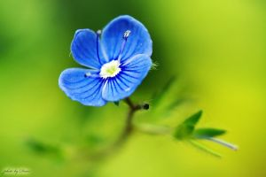 A small blue flower by eugene-dune