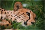 Cheetah Chillaxing by Jer-Trow