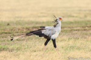 Secretary Bird 1 by Okavanga