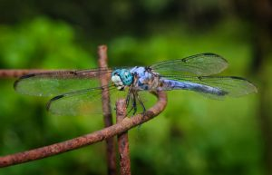 Rust and Dragonfly by drhine