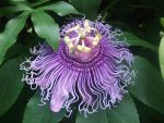 Passion Flower by Sai-co