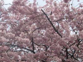Cherry blossom 2 by NewMoon-Dragoness