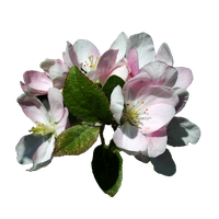 Apple Blossoms 3 Stock, Isolated PNG by vashadaiisha
