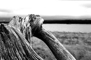 Drift Wood by BoothAdams