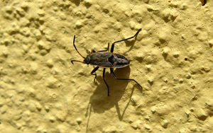 The bug on yellow wall by biffexploder