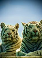2 White tigers by cherrypieman