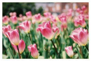 Tulip Festival_02 by freyiathelove