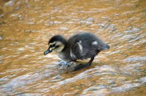 Duckling by A-Sped-Kid