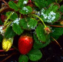 Snowy Strawberries by FireFlyExposed
