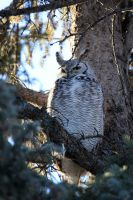 Great Horned Owl watching by sgt-slaughter