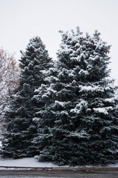 Trees Dressed in White by falling-featherz