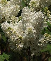 white lilac by marob0501