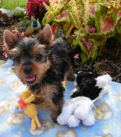 Ring around My Nose. by Show-us-Yorkies