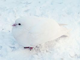 White pigeon by dr0psydr0ps