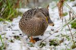 Duck in the snow by TheLittleMaja