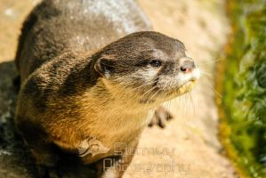 Otter focus. by StormyyWolf