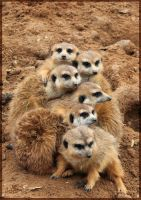 Cold Meerkats by charfade