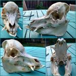 Pot-bellied Pig Skull *SOLD* by aquiafin